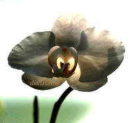 PHILANOPSIS ORCHID - DRY BRUSHED