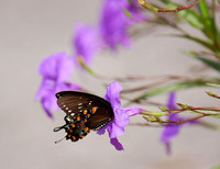 SWALLOWTAIL ON MEXICAN PETUNIA
