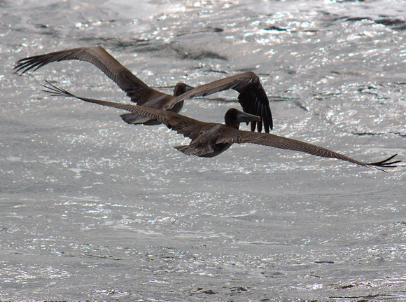 TWO BROWN PELICANS INFLIGHT